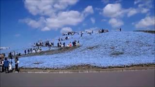 20170423 国営ひたち海浜公園  ネモフィラの丘  秋風春風 ネモフィラの丘 検索動画 12