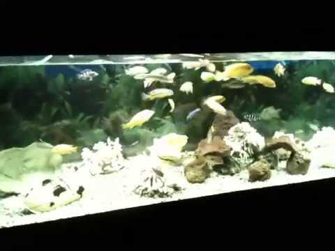 Acquario d 39 acqua dolce con ciclidi africani youtube for Pesce pulitore acqua dolce fredda