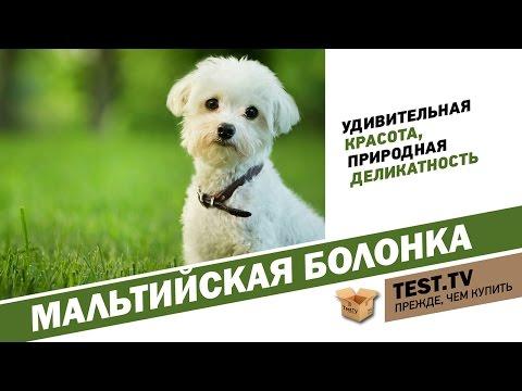 TEST.TV: Животные. Если нужен котопёс) -  Мальтийская болонка.