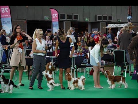 World Dog Show'18 - Junior females Cavalier King Charles Spaniel
