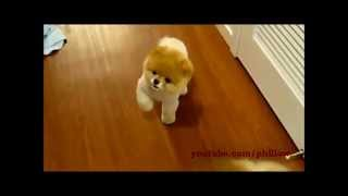 Dünyanın en tatlı köpeği Boo!