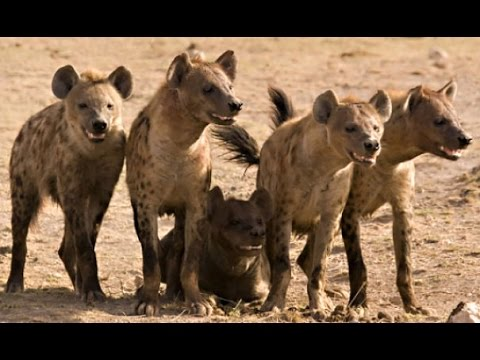Documentary: Hyena Facts - National Geographic