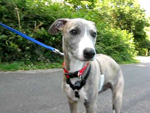 12 week old Whippet