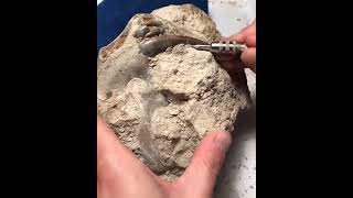 Sabre-tooth Hoplophoneus Fossil Preparation