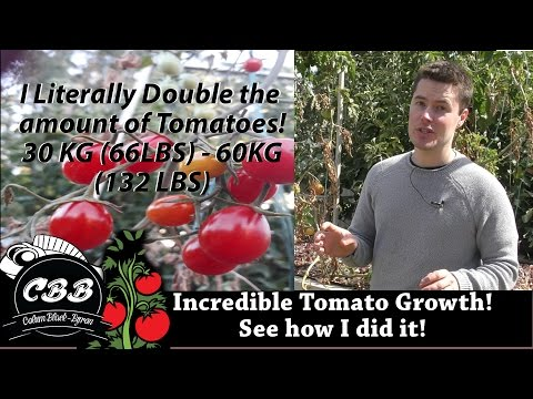 Incredible Tomato Production! Learn I doubled the amount fruit compared to last year - 30kg - 60kg!