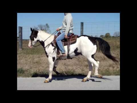 LOUD COLORED BLACK & WHITE OVERO PAINT GELDING, TRAIL RIDDEN