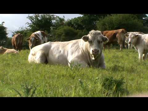 Belgian Blue Bull Grazing in..