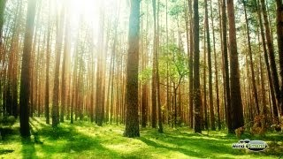 Forest Sounds With Singing Birds, Buzzing Bees and a Gentle Breeze - Full 60 Minute Soundscape