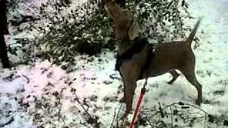 Enzo Weimaraner Barking At Squirrel