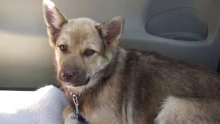 7月8日 5月に厚岸町で保護された野犬の子クッキー ランららパパさんの車...