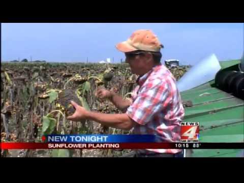 Farming sunflowers near San Antonio: a good crop for dry times