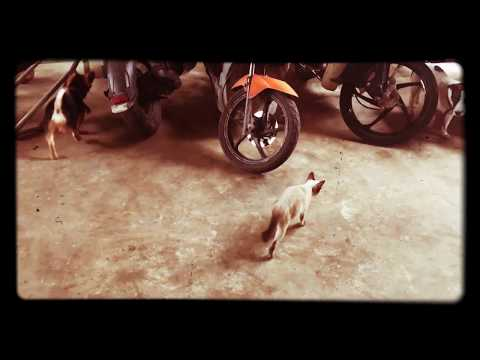 Brave Siamese cat | lovely kitten | busy cat | tommy | playful cat
