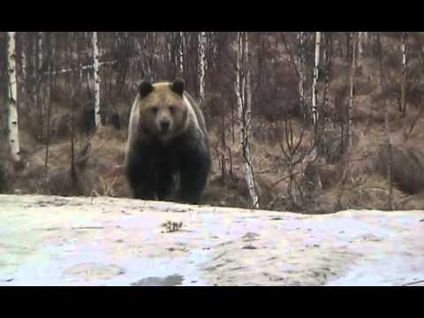 Смотреть фото Голодный медведь новости Россия
