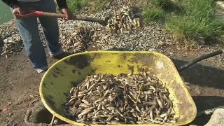 50 tonnes of dead fish pulled from Mexico