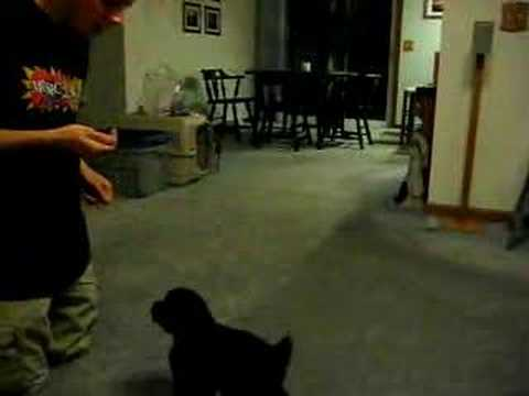 how to train a poodle puppy tricks