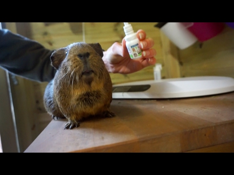 Mite Treatment For Guinea Pigs