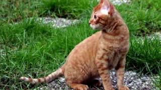 Порода кошек. Немецкий рекс. Порода домашних кошек.