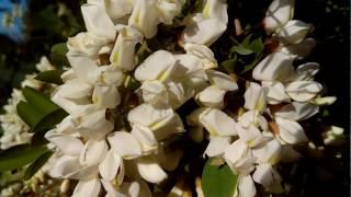 видео Календарь цветения медоносов