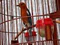 Burung Anis Merah Gacor Juara Harga Mobil  Mp3 - Mp4 Download