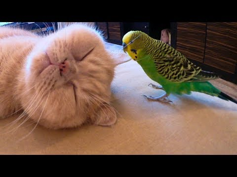The Cat Is Friends With The Parrot. Кот дружит с попугаем.