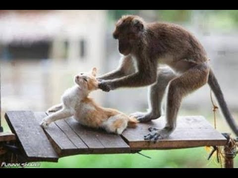 Compilation Monkey VS Cat and Dog try not to laugh
