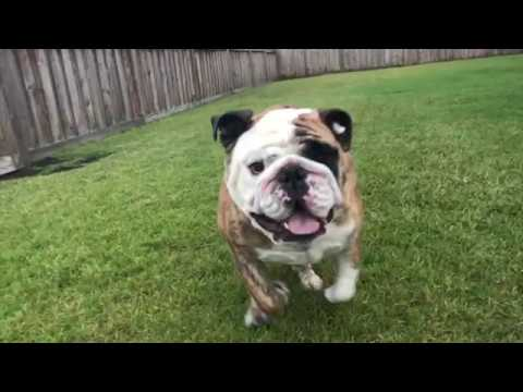 reuben-the-bulldog-ruffhousing-with-roo