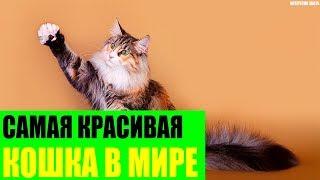 Самая красивая порода кошек в Мире
