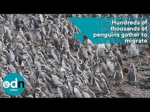 Hundreds of thousands of penguins gather to migrate
