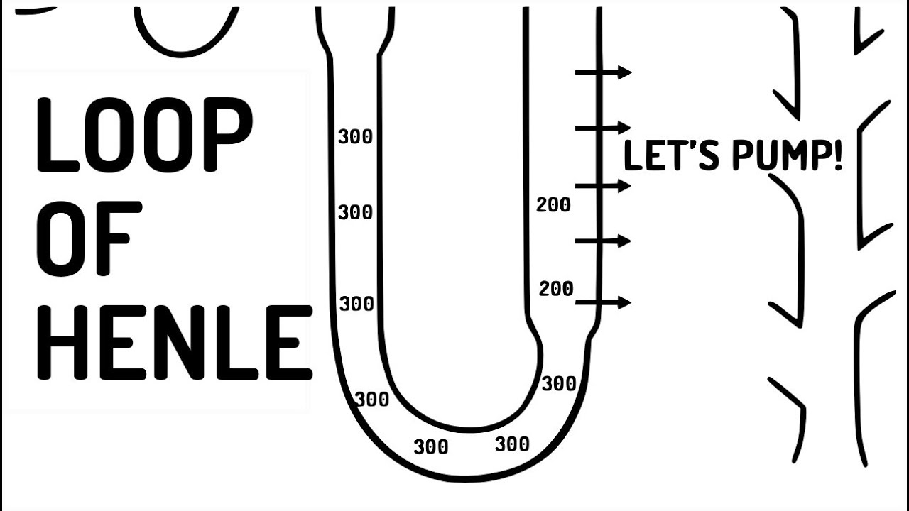 LOOP OF HENLE explained!!