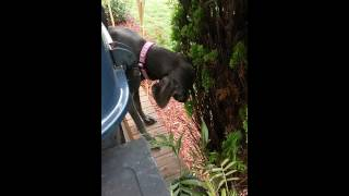 Why Does My Weimaraner Eat Trees?