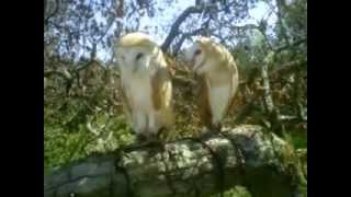 Ajax And Angel The Barn Owls