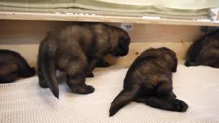 レオンベルガーの生後約1か月の子犬達が東京のショーブリーダー宅で元気...