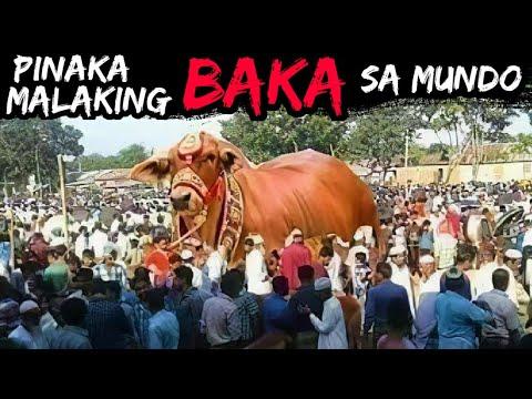 Download Grabe ang Laki ng Baka | 10 Pinakamalaking Baka o Toro sa Buong Mundo