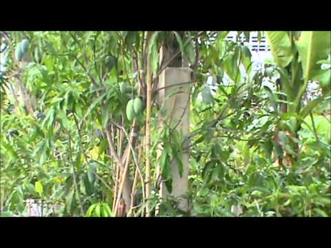 Buying Fruit Trees in Thailand