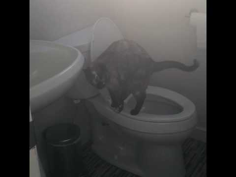Toilet-trained Siamese Cat