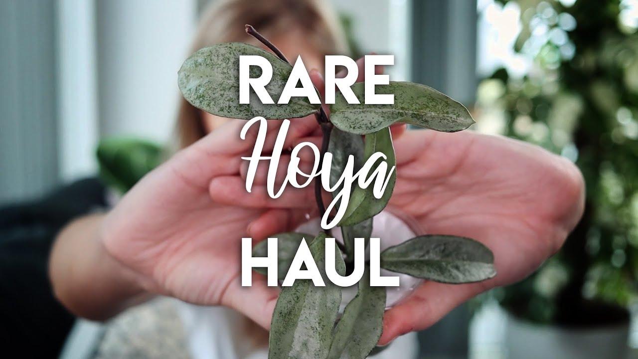They Arrived! | Rare Hoya Haul!