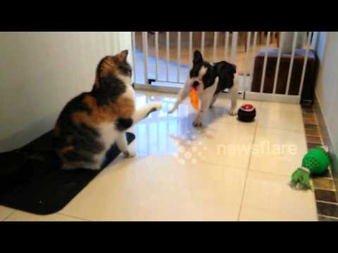 French Bulldog puppy tries to play with cat