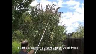 Buddleia - Butterfly Bush - Summer Dead-Head