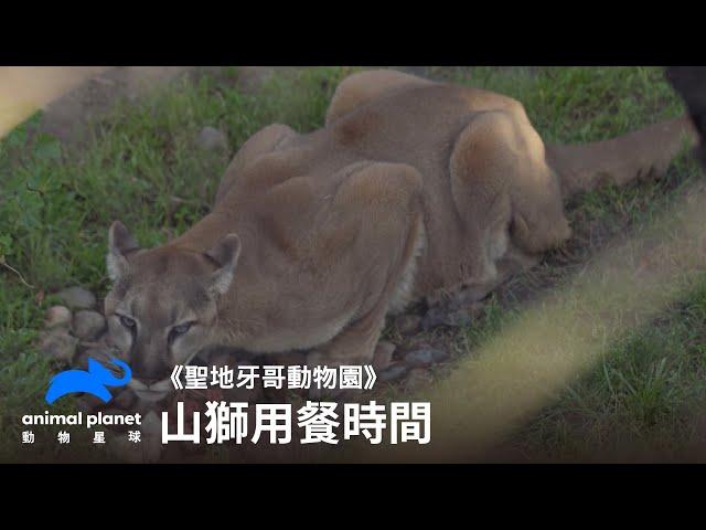 山獅在動物園的吃飯時間 動物星球頻道