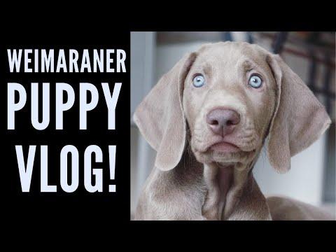 Davinci the Weimaraner - Morning Vlog