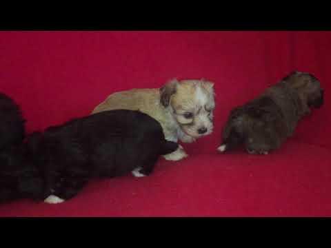 Havanese litter for sale Euro Puppy
