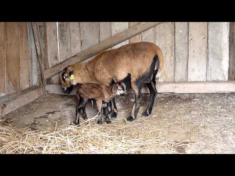 Dora gives birth to a gorgeous baby Cameroon sheep.MTS