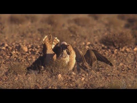ОЧЕНЬ КРУТОЕ ВИДЕО!!! Охота с СОКОЛОМ БАЛОБАН (лат. Falco Cherrug) Hunting With A Falcon
