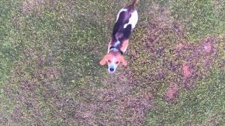 Dexter The Beagle