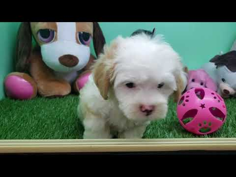 Maltipoo Puppy- Male- Reiley
