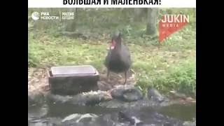 Лебедь кормит рыб