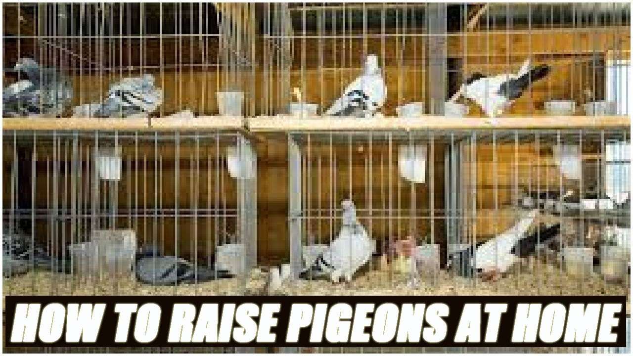 How to grow pigeons