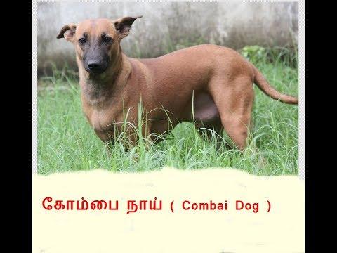 Combai Dog Or Kombai Dog க ம ப ந ய Pride Of