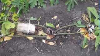 инжир формировка выращивание(, 2012-11-04T15:08:04.000Z)