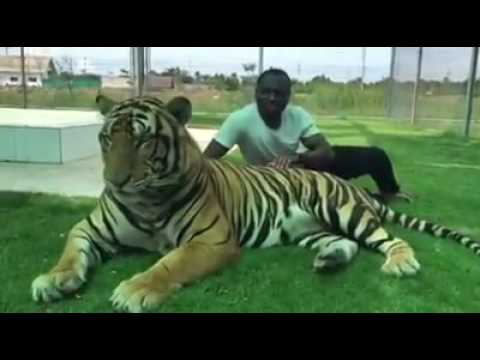 HUGE SIBERIAN TIGER - VINCENT petting the tiger amazing